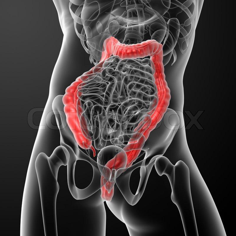 Menschliche Verdauungssystem großen Darm rot gefärbt - close-up ...