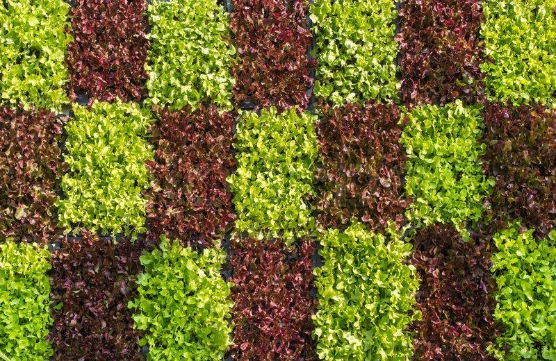 Vertical Garden With Green Oak Lettuce Stock Image Colourbox