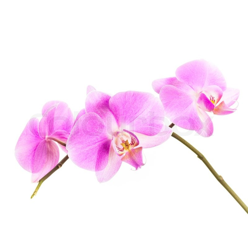 White And Pink Orchid Flowers Pink Orchid Flowers Group Isolated on White Background Stock Photo