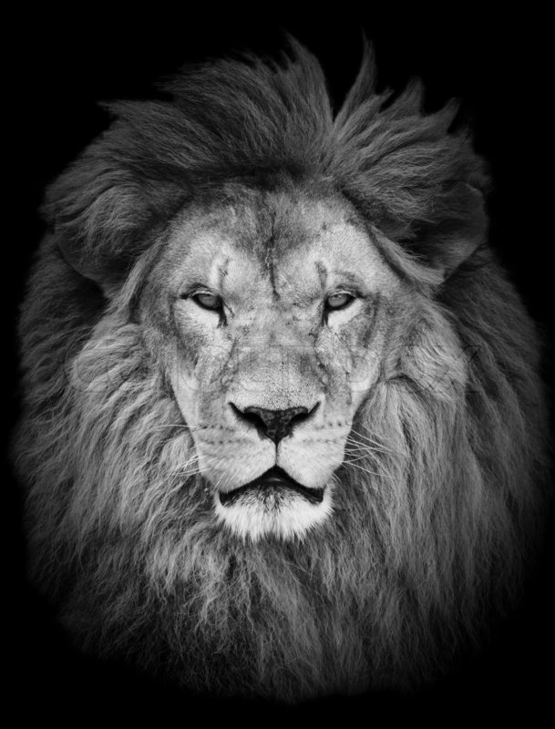 Portrait of huge beautiful male african lion against black background stock photo colourbox