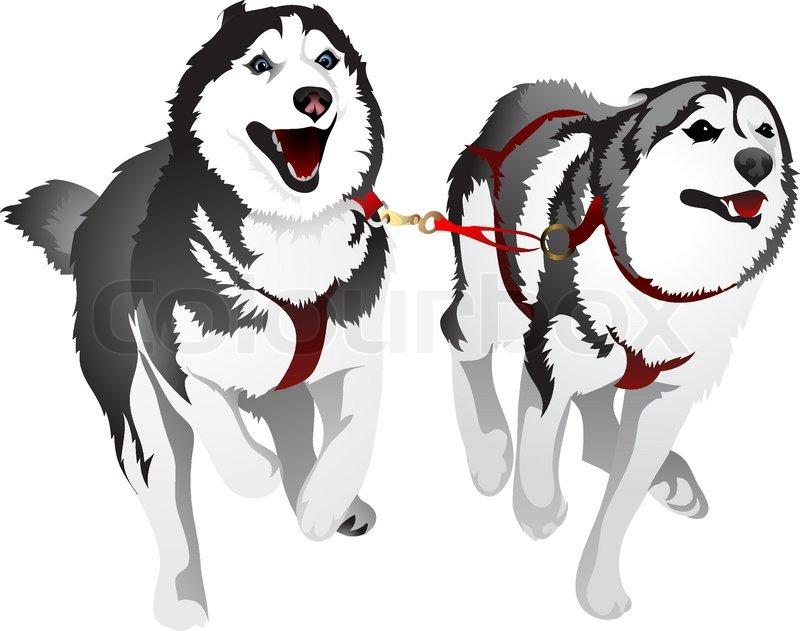 vector drawing sled dog breed siberian husky stock vector colourbox