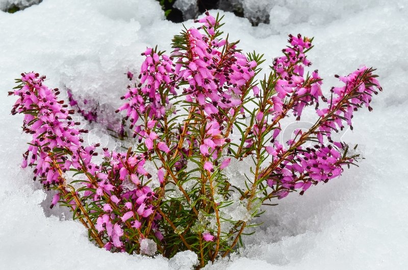 Early spring purple flowers of common heather or calluna vulgaris early spring purple flowers of common heather or calluna vulgaris surprised by late snow stock photo colourbox mightylinksfo