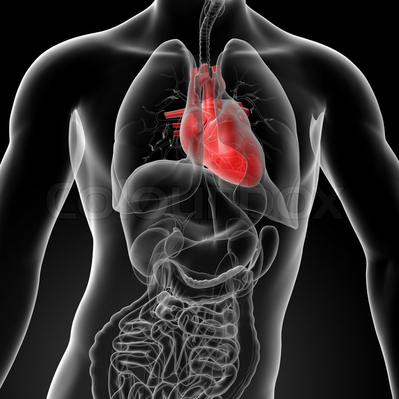 3d render human heart anatomy - front view | Stock Photo | Colourbox