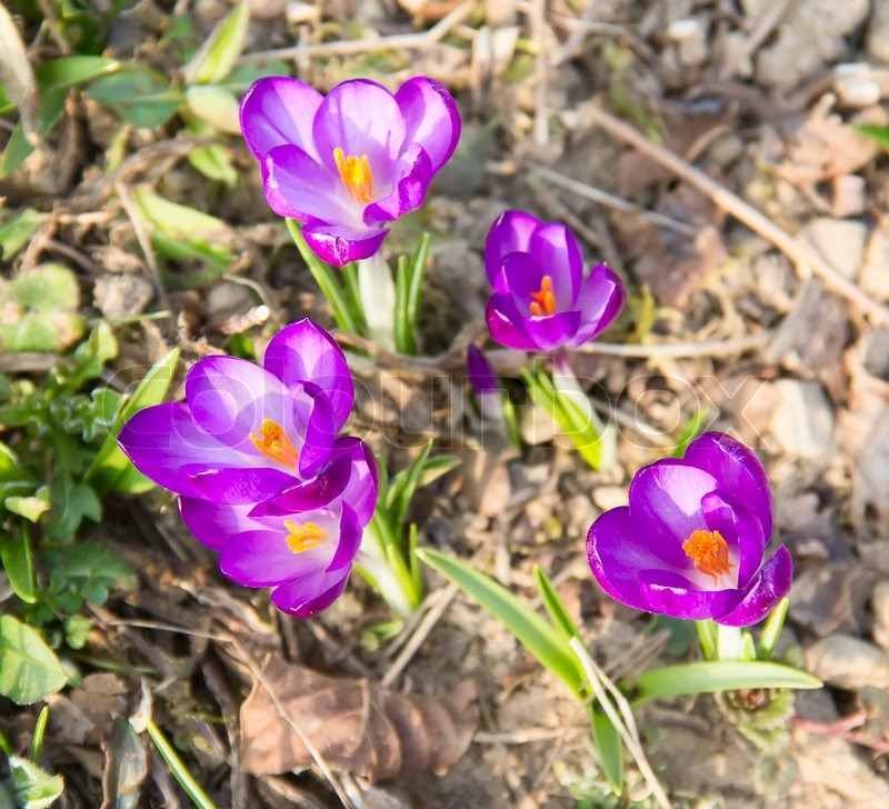 Stock image of 'First spring flowers: violet crocuses growing after melting the snow'