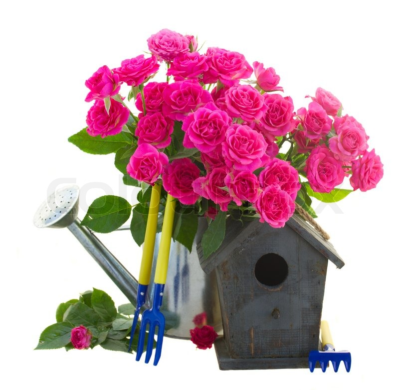 Stock image of 'pink roses with gardening tools and birdcage isolated on white background'