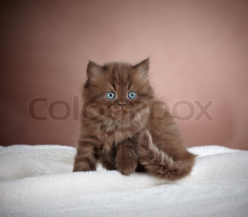 Stock image of 'portrait of brown british long hair kitten'