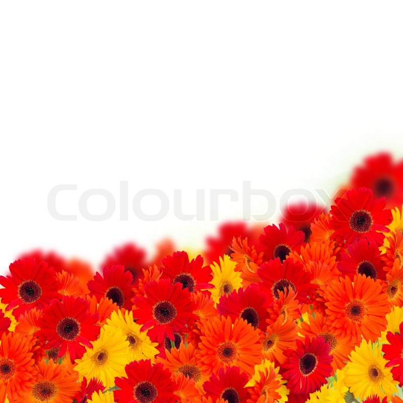 Stock image of 'gerbera flowers border isolated on white background'