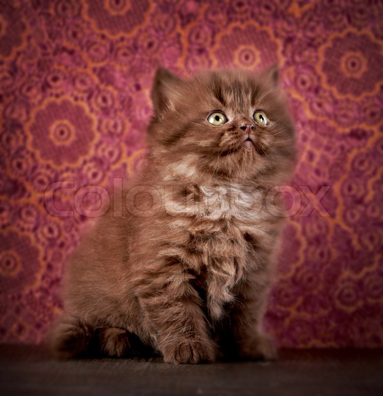Stock image of 'portrait of british long hair kitten'