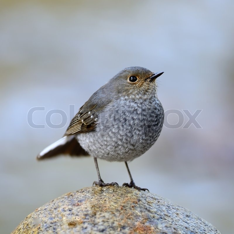 Stock image of 'Beautiful grey bird, female Plumbeous Redstart (Rhyacomis fuliginosa), standing on the rock, breast profile'