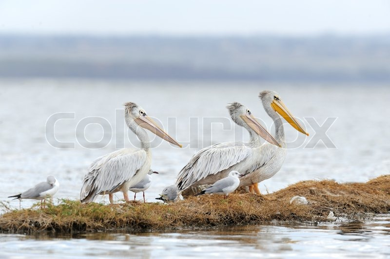 Stock image of 'White pelican in Lake Nakuru National Park'