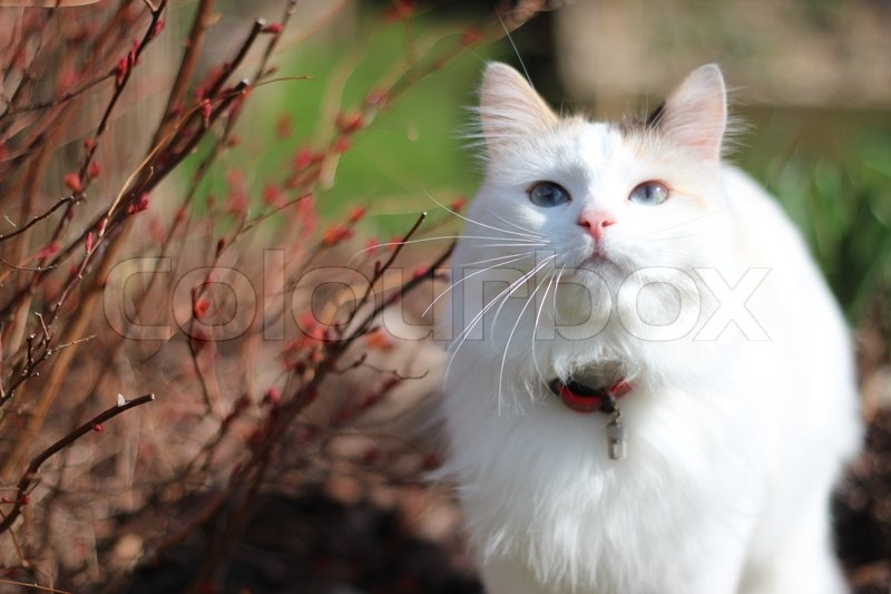 Stock image of 'White cat with beautiful blues eyes in the garden'