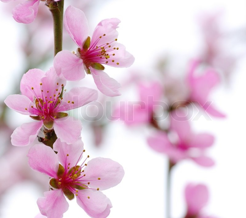 Stock image of 'Branch with pink blossoms isolated on white '