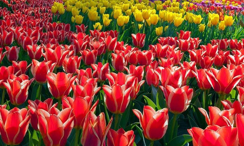 Stock image of 'Beautiful spring colourful flowers tulips'