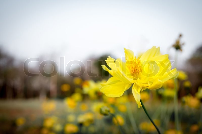 Stock image of 'yellow cosmos flower is blooming in the garden.'