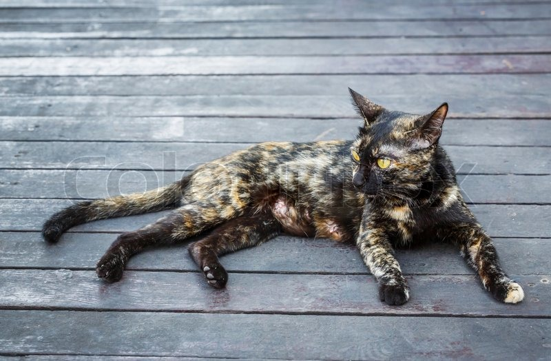 Stock image of 'Close up old and dirty female stray cat lying on grunge wooden floor - from Thailand'