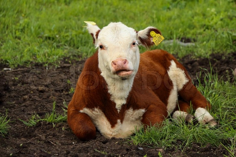 Stock image of 'Lying Calf Cow On Grass Eating'