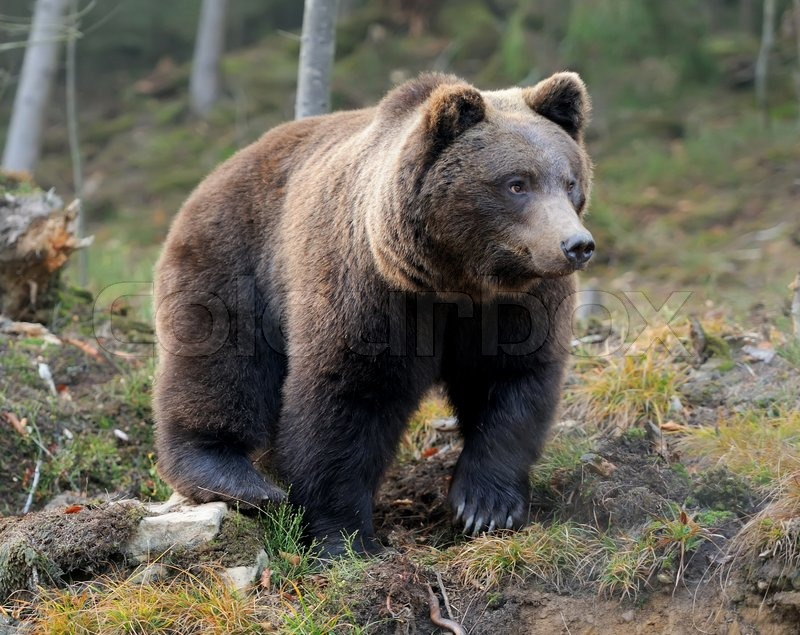 Stock image of 'A brown bear in the forest'