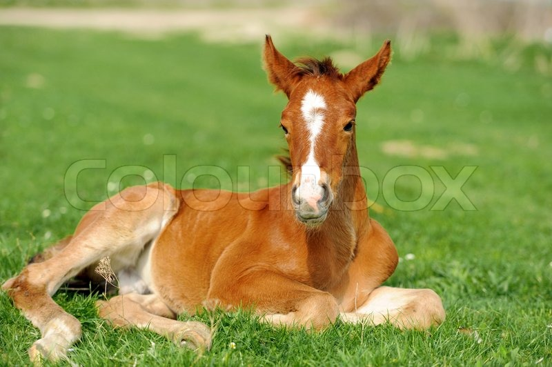 Stock image of 'Colt on a meadow in summer day'