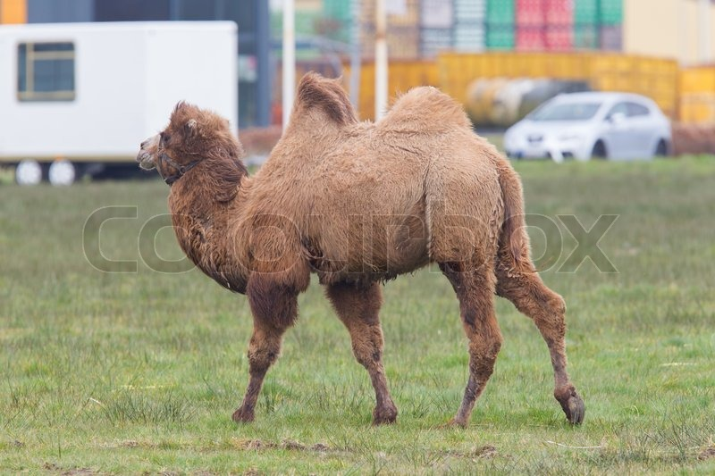 Stock image of 'Two-humped camel walking on a dutch meadow'