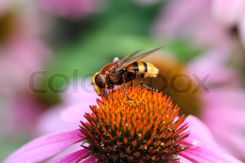 Stock image of 'Volucella sun aria, the hornet mimic hoverfly'