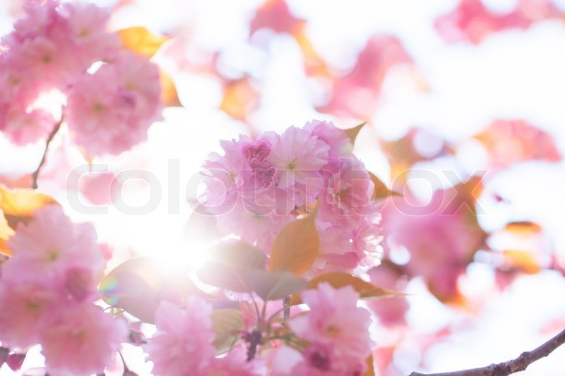 Stock image of 'Blooming double cherry blossom branches and sun shine'