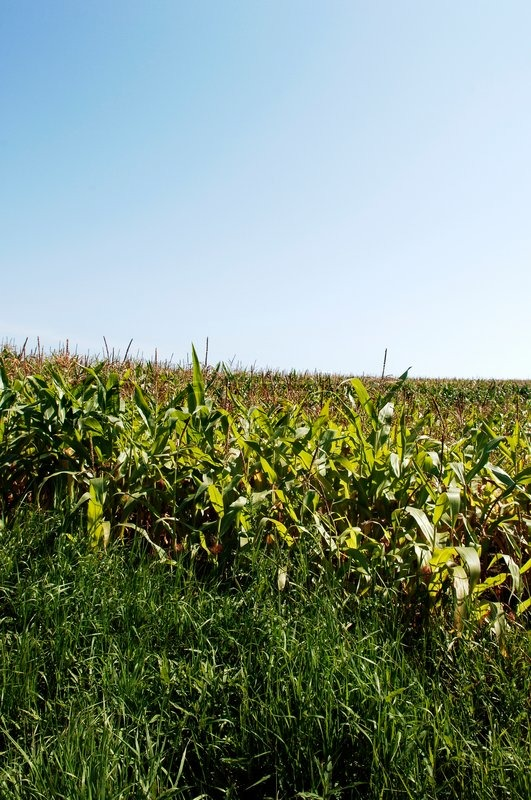 Stock image of 'Corn plantation in the summer'