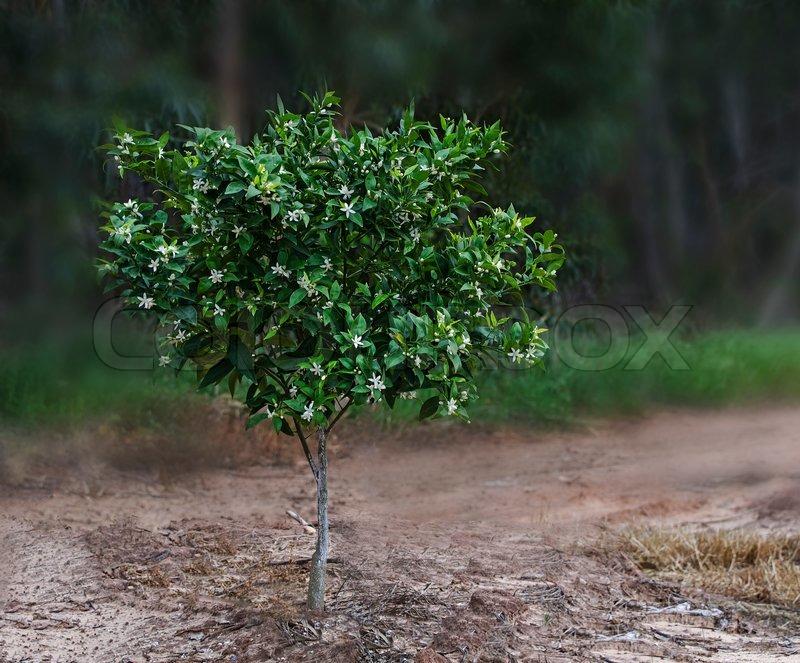 Citrus tree, stock photo