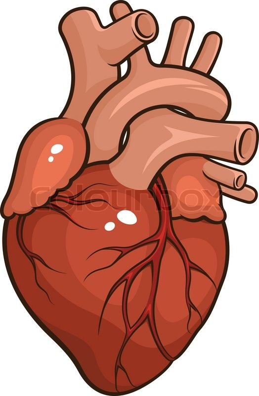 Menschliches Herz   Vektorgrafik   Colourbox