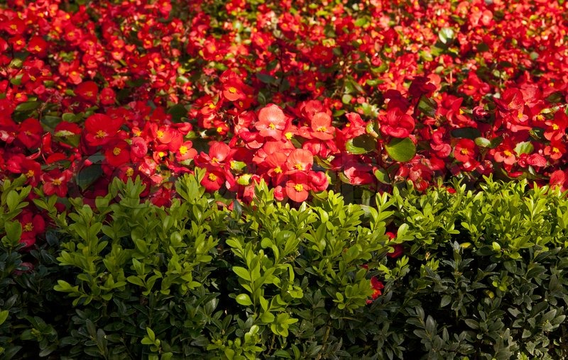 Red flowers as background, stock photo