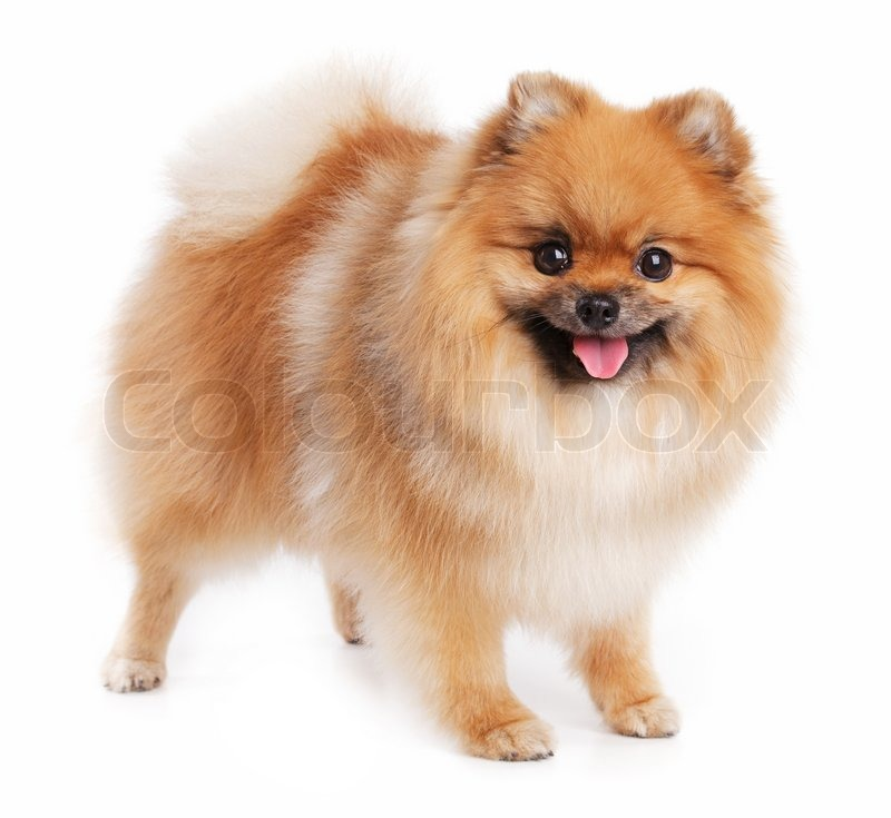 Cute little Pomeranian red color on a white background ...