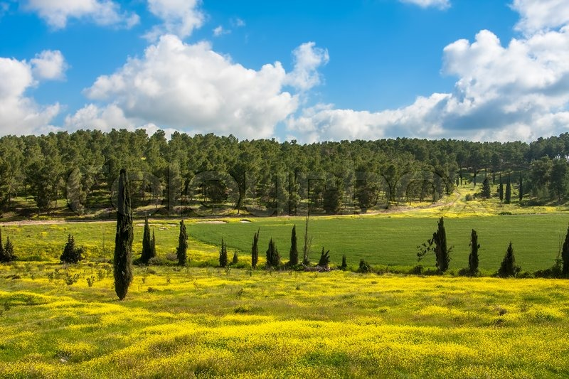 gelbe bl ten und gr nen gras unter blauen himmel mit wei en wolken im fr hjahr in israel. Black Bedroom Furniture Sets. Home Design Ideas