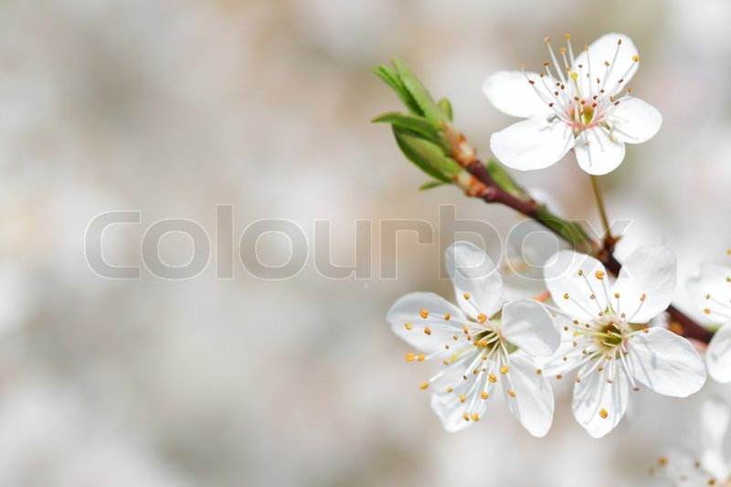 Closeup of apple tree blossom in early spring, stock photo