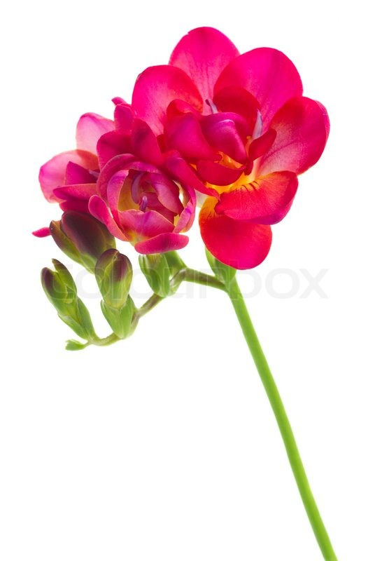 Mauve freesia flowers isolated on white background stock photo mauve freesia flowers isolated on white background stock photo colourbox mightylinksfo