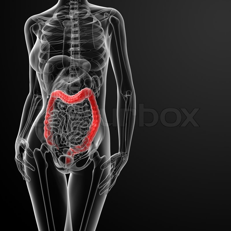 3d render female anatomy - large intestine - front view | Stock ...