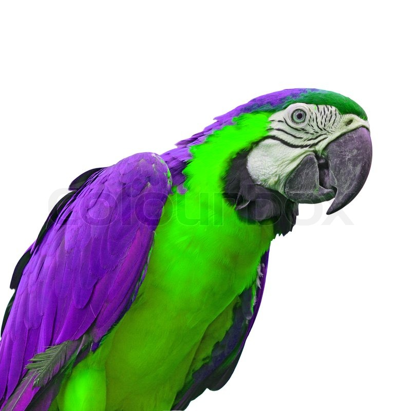 green and purple macaw parrot closeup white background stock