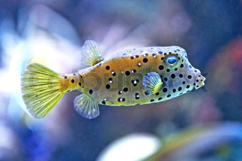 Cubicus Boxfish Care Yellow Boxfish Habitat...