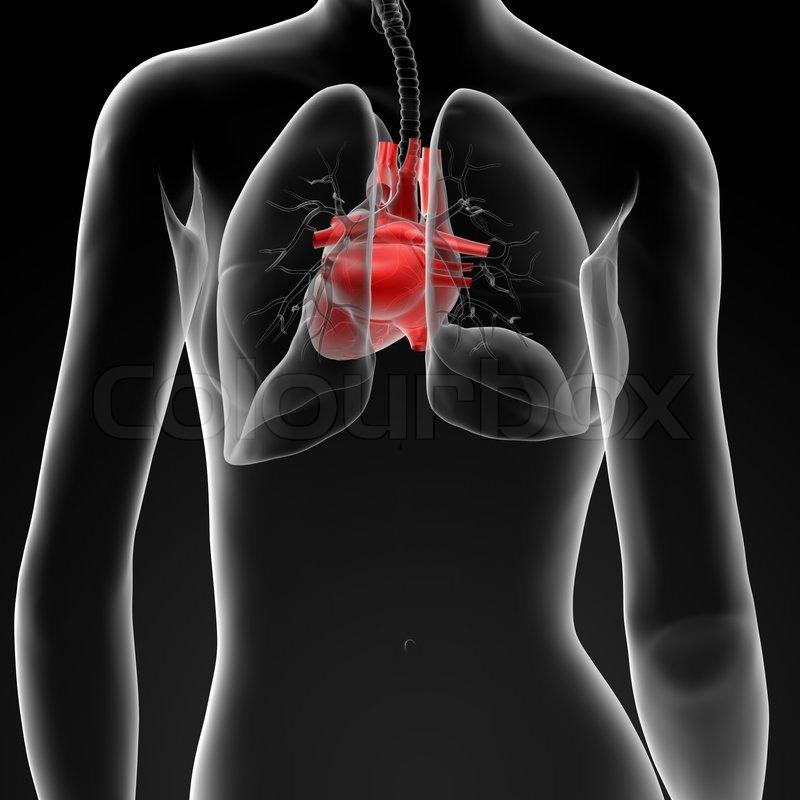 3d render female anatomy - heart - back view | Stock Photo | Colourbox