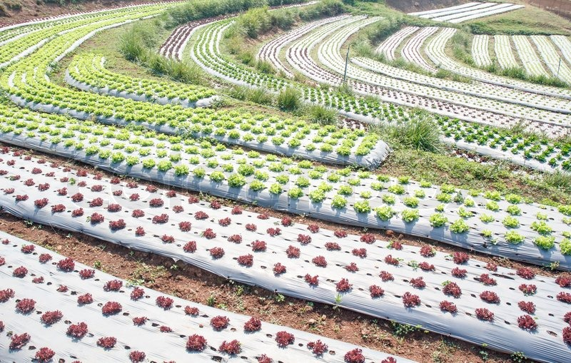 Vegetable Garden With Plastic Film Protected In Land The