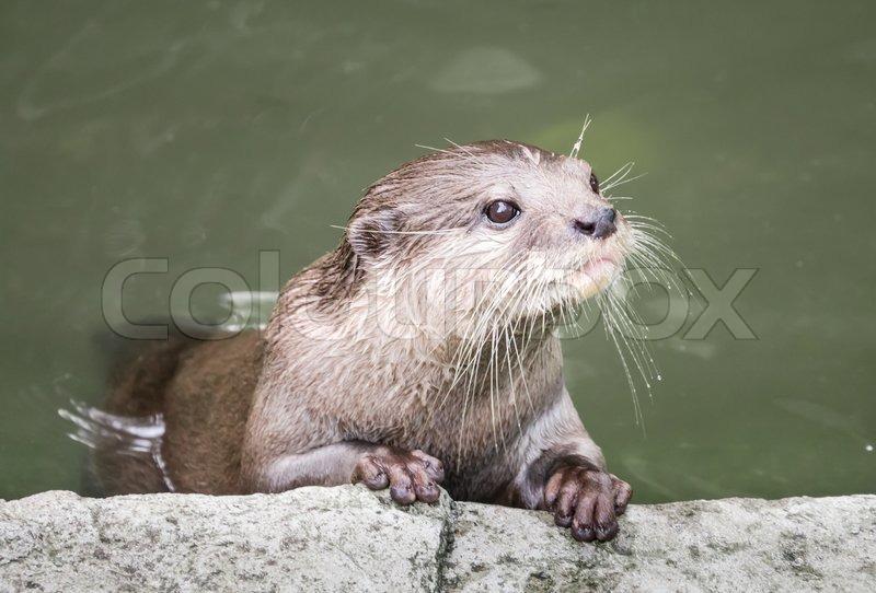 Orientalische kleine Krallen otter | Stockfoto | Colourbox