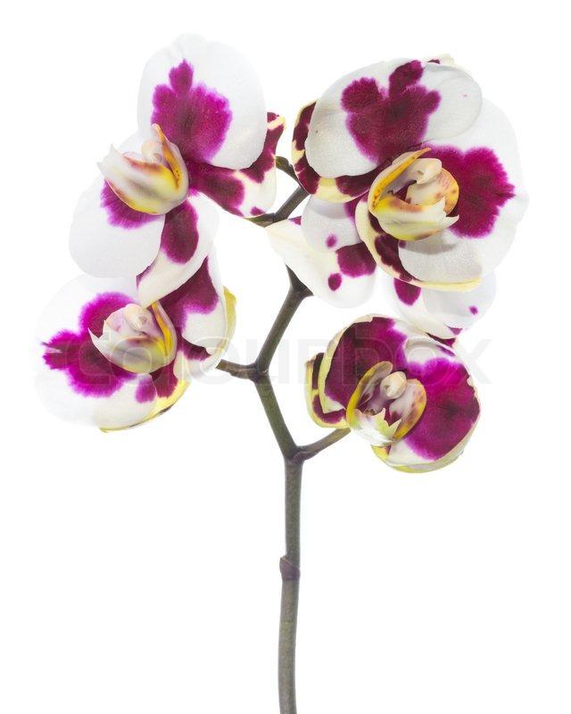 Schöne Motley mit Flecken lila Orchidee Blume erblühen, ist ...
