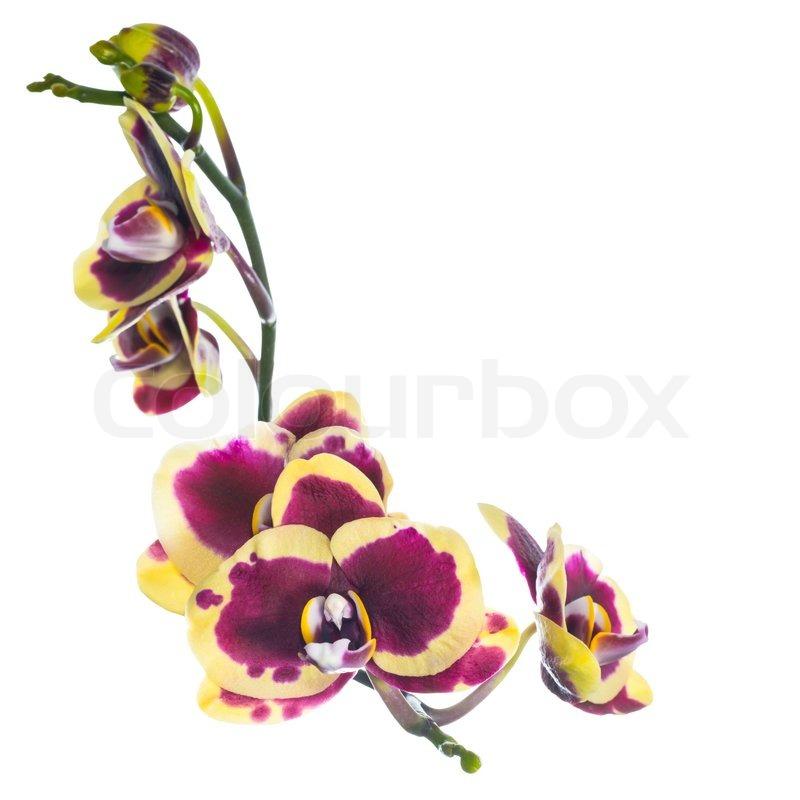 sch ne lila mit gelben bandlet orchidee blume erbl hen. Black Bedroom Furniture Sets. Home Design Ideas