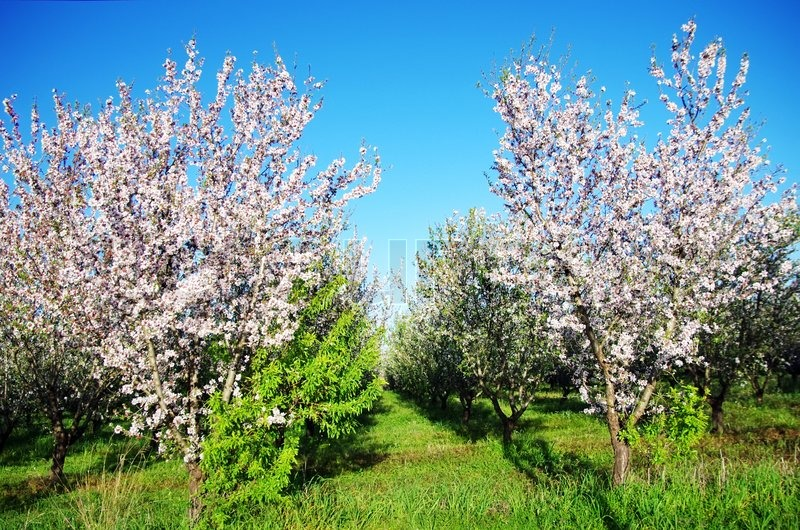 almond trees blooming in orchard at portugal stock photo colourbox