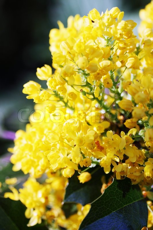 Evergreen shrub rhododendron with small yellow flowers stock evergreen shrub rhododendron with small yellow flowers stock photo colourbox mightylinksfo