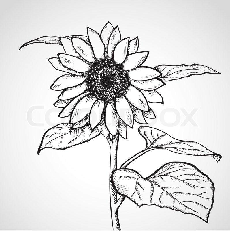 Sketch sunflower hand drawn ink style vector