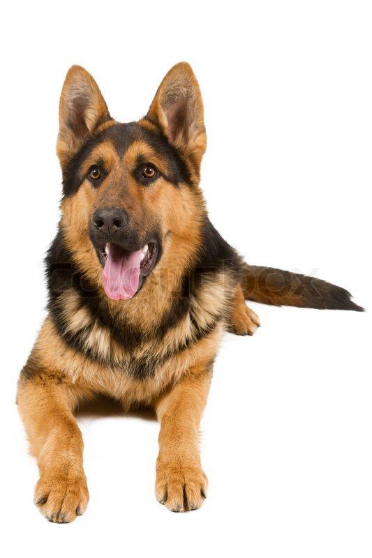 Image result for german shepherd