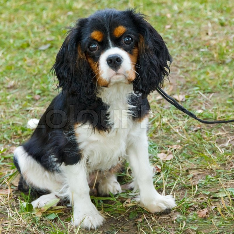 closeup portrait cute sad dog cavalier king charles spaniel breed