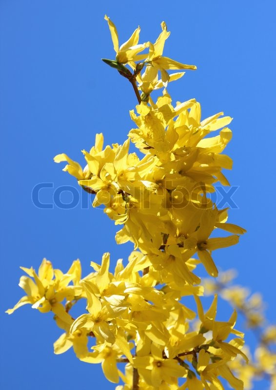 Yellow Broom Flower Branch In Stock Photo Colourbox