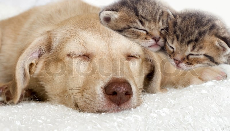 Puppy And Kittens Sleeping Together Stock Photo Colourbox