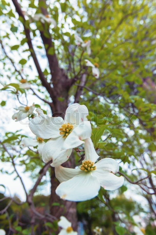 Weiße Blüte Hartriegel Baum (Cornus Florida) in Blüte, closeup ...