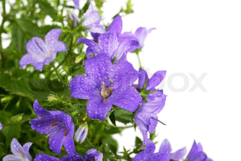 Campanula bell flowers with water drops after rain on white ...